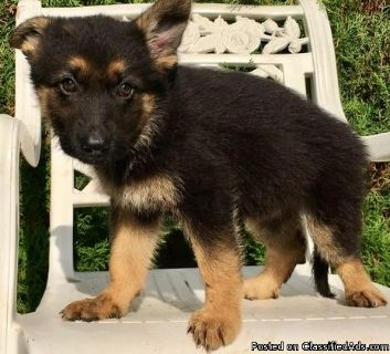 high quality German shepherd puppies ready to go