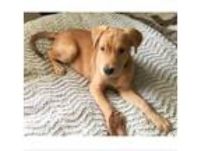 Adopt Grant a Shepherd (Unknown Type) / Mixed dog in Austin, TX (25448626)