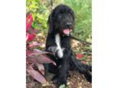 Adopt Nelson a Standard Schnauzer, Poodle