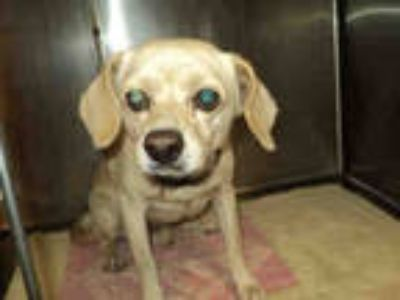 Adopt ROCKY a White Beagle / Mixed dog in Chatsworth, CA (25931777)