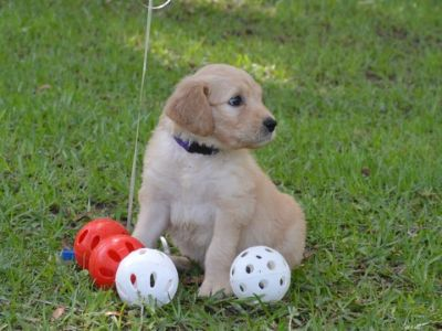 Goldendoodle PUPPY FOR SALE ADN-77798 - F1 standard Goldendoodles
