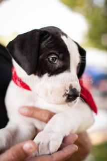Great Dane PUPPY FOR SALE ADN-85429 - AKC Great Dane Puppies Denver