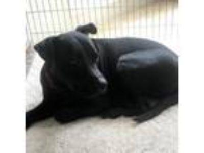 Adopt Midnight a Labrador Retriever, Shepherd