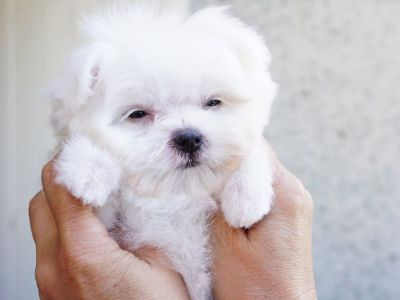 Maltese Puppy – Female- Gizela ($2,899)