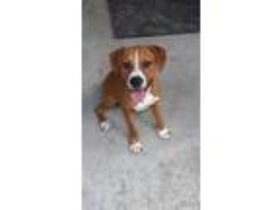 Adopt Fella a Boxer / Mixed dog in Rockport, TX (25609349)