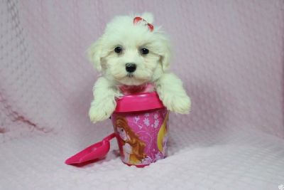 Perfect Maltipoo puppies in Las Vegas!