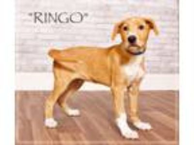 Adopt Ringo a Retriever