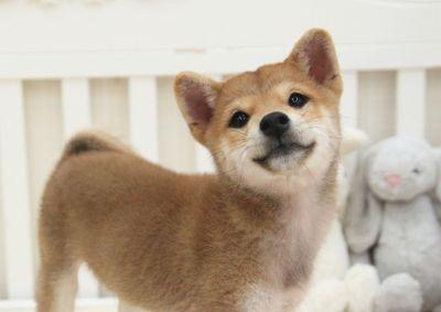 Shiba Inu PUPPY FOR SALE ADN-52482 - Red Shiba Inu Leo