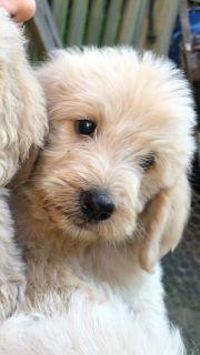 Labradoodle PUPPY FOR SALE ADN-88774 - Labradoodles