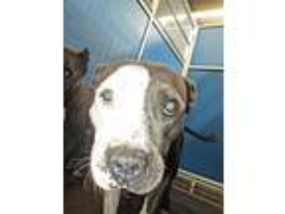 Adopt Cage 7 July 11 f a Staffordshire Bull Terrier