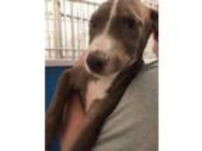 Adopt 41830180 a Brown/Chocolate Catahoula Leopard Dog / Mixed dog in Bryan