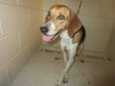 Adopt HENRY a Tricolor (Tan/Brown & Black & White) Treeing Walker Coonhound /
