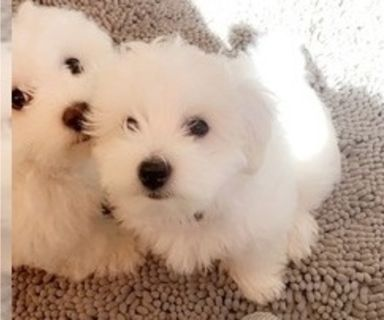 Bichon Frise PUPPY FOR SALE ADN-129957 - Bichon Frise Puppies