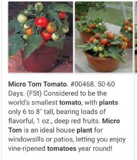 Micro tom cherry tomato plants