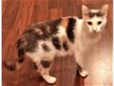 Adopt Patty (Downers Grove) a Calico