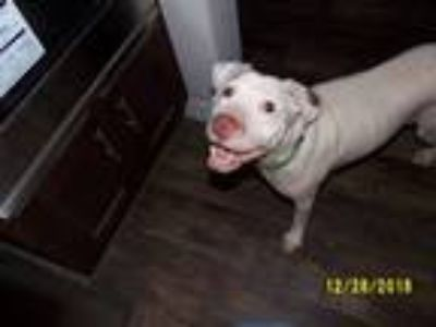 Adopt Petey a White - with Brown or Chocolate Labrador Retriever / American Pit
