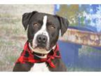 Adopt Dexter a Black - with White American Pit Bull Terrier / Mixed dog in Lago