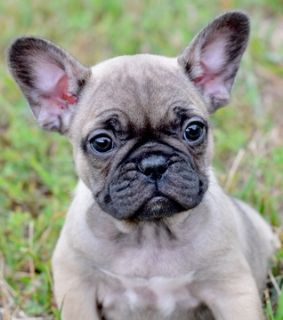 French Bulldog PUPPY FOR SALE ADN-98040 - Blue Fawn French Bull Puppies