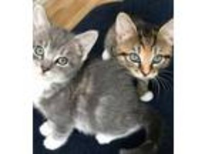 Adopt Meredith and Tina a Tiger Striped Domestic Shorthair (short coat) cat in