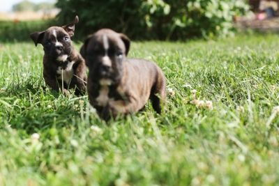 Boxer PUPPY FOR SALE ADN-89768 - Akc European American boxer puppies