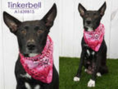 Adopt TINKERBELL a Black - with White German Shepherd Dog / Labrador Retriever /