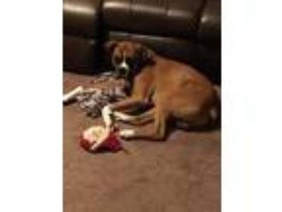 Adopt Jack a Boxer / Mixed dog in Bowmansville, NY (25332250)
