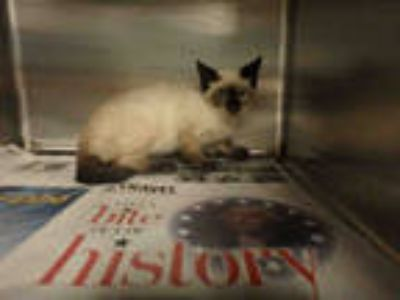Adopt GOBI a Tan or Fawn (Mostly) Siamese / Mixed (short coat) cat in