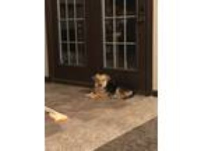 Adopt Bailey a Black - with Tan, Yellow or Fawn Dachshund / Border Collie /