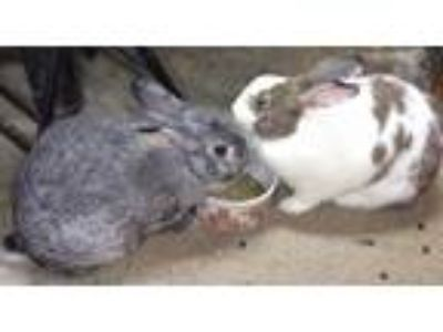Adopt Sydney a Tri-color Flemish Giant / Mixed (medium coat) rabbit in Hahira
