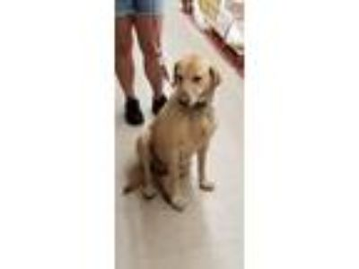 Adopt rip a Tan/Yellow/Fawn Labrador Retriever / Mixed dog in Spring Valley