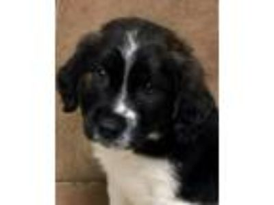 Adopt Baby B's Baron a Black - with White Australian Shepherd / Border Collie /