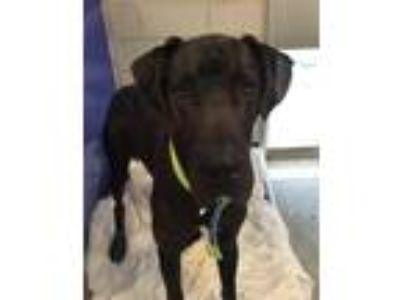 Adopt Diesel a Great Dane / Mixed dog in Madison, NJ (25314561)