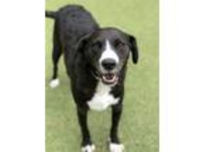 Adopt Dude a Border Collie / Mixed dog in Birmingham, AL (25868031)