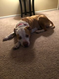 American Pit Bull Terrier PUPPY FOR SALE ADN-99145 - 2 year old female Pitbull dog