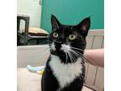 Adopt Aiden a Black & White or Tuxedo Domestic Shorthair (short coat) cat in