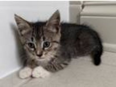 Adopt O'Hara a Brown Tabby Domestic Shorthair (short coat) cat in Lombard