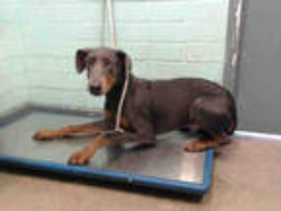 Adopt ZEUS a Black - with Brown, Red, Golden, Orange or Chestnut Doberman