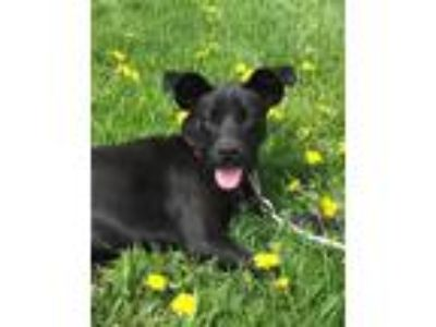 Adopt Lacy a Black Labrador Retriever, Terrier