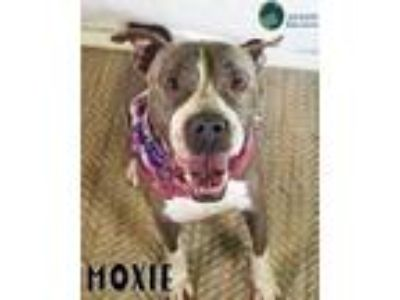Adopt Moxie a Pit Bull Terrier / Mixed dog in Gautier, MS (25833454)