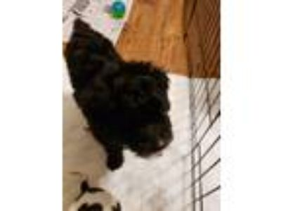 Adopt Domino a Poodle