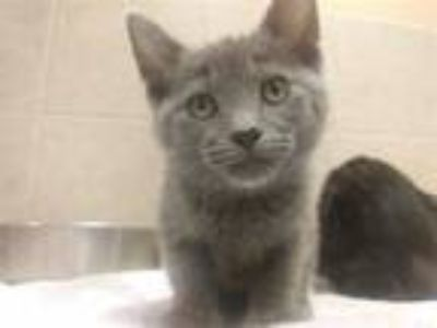 Adopt Nelly a Domestic Shorthair / Mixed cat in Osage Beach, MO (25526221)