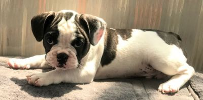 AKC Male French Bulldog Puppy