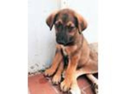 Adopt Misty a Brown/Chocolate - with Black Shepherd (Unknown Type) / Cattle Dog