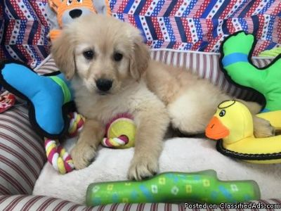 gorgeous YELLOW lab and golden retriever puppies; for sale in miami
