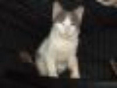 Bailey Domestic Short Hair Cat