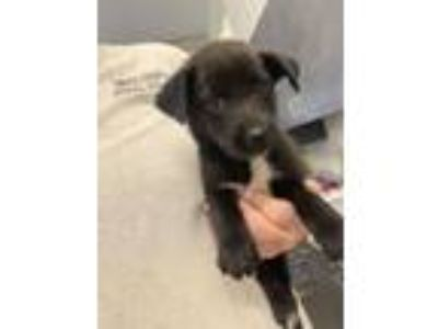 Adopt Jackson Pup 5 a Labrador Retriever, Mixed Breed