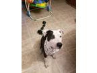 Adopt Keelo a White - with Black American Staffordshire Terrier / American Pit