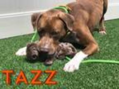 Adopt TAZZ a Brown/Chocolate - with White German Shorthaired Pointer / Husky /