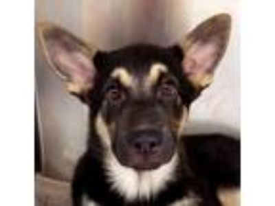 Adopt Macy a Black - with Tan, Yellow or Fawn German Shepherd Dog / Mixed dog in