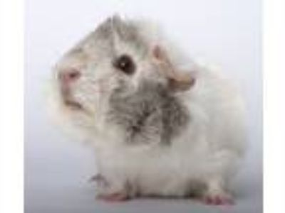 Adopt Furby a White Guinea Pig (short coat) small animal in Chicago